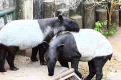 Two tapir Stock Image
