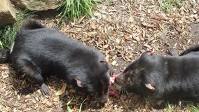 Two Tasmanian devils eating. In Tasmanian Devil Park. Australia stock video