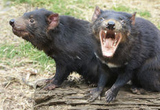 Two Tasmanian Devils, one screaming Stock Photos