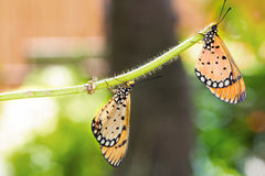 Two Tawny Coster Butterfly. Close up of two Tawny Coster butterfly royalty free stock photos