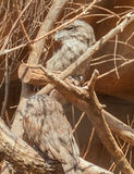 Two Tawny Frogmouths (Podargus Strigoides) Royalty Free Stock Photo
