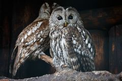 Two tawny owls perching on branch with log wall on the background. Two cute brown owls Strix aluco one with open eyes and another with closed eyes sitting stock photo