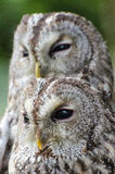 Two tawny owls. A portrait of two tawny owls royalty free stock photography