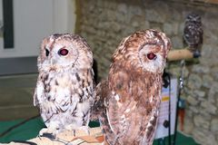 Two Tawny Owls / Strix Aluco on a perch. Rescued pair of Tawny Owls / Strix Aluco on a perch for educational purposes, beautiful birds for all to enjoy stock image