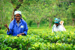 Two Tea Pickers. Two smiling women tea pickers at  the plantation near the town of Kandy in Sri Lanka on the 4th of December, 2008 Stock Photography
