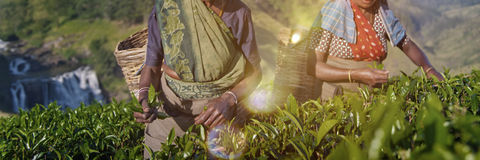 Two Tea Pickers Smile As They Pick Leaves Concept Stock Photography