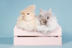 Two teddy dwarf rabbits in a wooden box Royalty Free Stock Photography