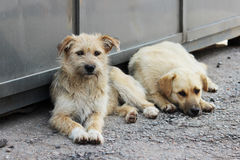 Two teenage puppies lie in the shade in the summer on the grocery market. Royalty Free Stock Images