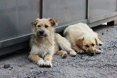 Two teenage puppies lie in the shade in the summer on the grocery market. Royalty Free Stock Image