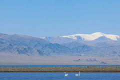 Two teenagers swans in the bay of Lake Uureg Nuur in Mongolia Royalty Free Stock Photo