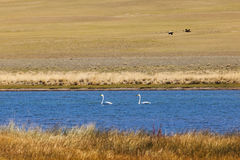 Two teenagers swans in the bay of Lake Uureg Nuur in Mongolia Royalty Free Stock Photography