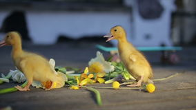 Two teeny yellow duckligs walking in flowers stock video footage