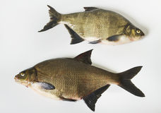 Two tench. Royalty Free Stock Images