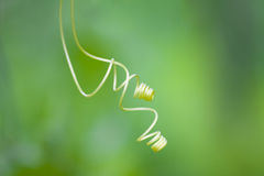 Two tendrils Royalty Free Stock Photo
