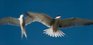 Two terns in air. Against the sky in air two white birds soar Stock Images