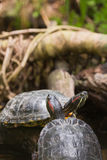 Two terrapin turtles Stock Photos