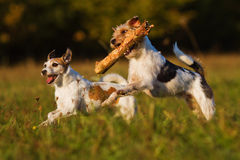 Two terrier in action. Two Parson Russell Terrier running through the meadow, one of them has a woodblock in his mouth stock photography