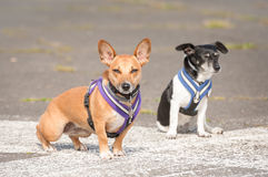 Two terrier dogs Royalty Free Stock Image