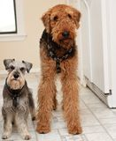 Two terrier dogs standing with silly expressions. Big airedale terrier and small miniature schnauzer dogs stand next to each other in the kitchen stock images