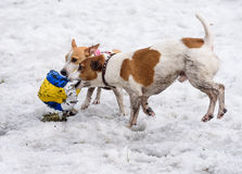 Two terrier dogs tearing and destroying a ball on snow. Pair of Jack Russell Terrier playing on a walk Royalty Free Stock Photos