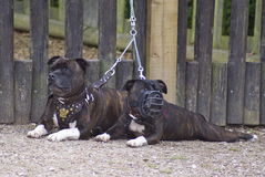 Two terriers. Bull terriers alert and waiting Stock Photography