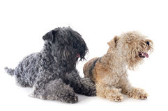 Two terriers Stock Image