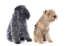 Two terriers Royalty Free Stock Images