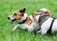 Two terriers running. Dog biting other dog back Royalty Free Stock Image