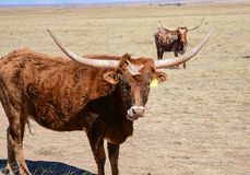 Two Texas longhorn cattle out in the field, looking into the camera stock image