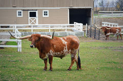 Two Texas Longhorns. One closer up and one off in the distance in front of a tan colored barn royalty free stock photography