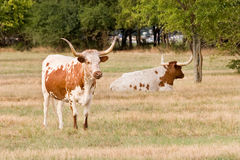 Two Texas Longhorns In Pasture. Two Texas longhorns relaxing in a pasture Stock Images