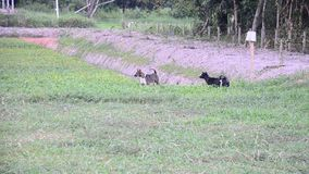 Two thai dogs barks in farmland stock video