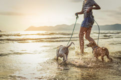 Two thai dogs playing on the beach. Thai dogs enjoy playing on beach with owner Stock Photos