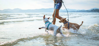 Two thai dogs playing on the beach Royalty Free Stock Image