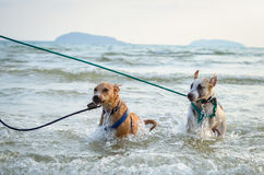 Two thai dogs playing on the beach. Thai dogs enjoy playing on beach with owner Stock Image