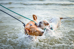 Two thai dogs playing on the beach. Thai dogs enjoy playing on beach with owner Stock Photography