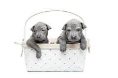 Two thai ridgeback puppies in basket isolated on white Royalty Free Stock Image