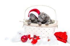 Two thai ridgeback puppies in christmas cap in basket Stock Photos