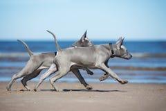 Two thai ridgeback puppies running on a beach. Grey thai ridgeback puppies on a beach royalty free stock photography