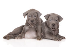 Two thai ridgeback puppies Stock Images