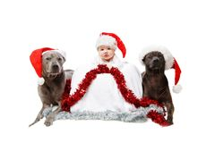 Two thai rifgbeck dogs in christmas caps with baby royalty free stock images