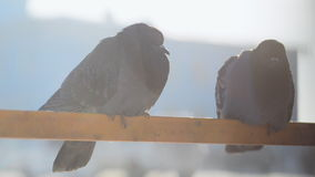 Two thick fluffy blue gray pigeons sitting on the tube. Outside it is frosty sunny day, the sky is very bright, the birds are frozen and try to keep warm. They stock footage