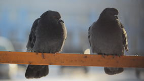 Two thick fluffy gray pigeons sitting on the yellow tube. Probably, it is winter, the birds look like they are trying to keep warm, their red eyes blink and stock video footage