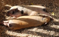 Two fat domestic pigs sleeping on the litter royalty free stock photography