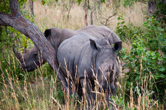 Two thino. Two rhinos using a tree for scratching Stock Photography