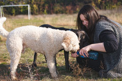Two thirsty dogs drink water from their trainers hand. A girl trainer watering her dogs Stock Photography