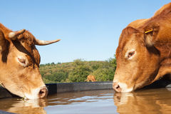 Two thirsty Limousin beef cows drinking from a plastic  water ta. Nk in a pasture, close up side view of their heads on opposite sides of the tank Royalty Free Stock Images