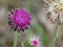 Two thistles - in bloom and seeds. Two thistles - one brightly colored purple and the other going to seed. Thistles in many U.S. towns and municipalities are Royalty Free Stock Images