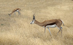 Two Thomson gazelle standing in a savannah. Two Thomson gazelle Eudorcas thomsonii standing in a savanna surrounded with yellow dried grass. Africa Stock Photos