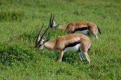 Two Thomson's Gazelles Eating Royalty Free Stock Photo